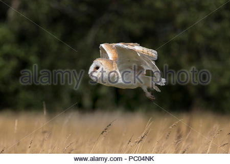 Barn owl (Tyto alba), captive, Cumbria, UK, - Stock Photo