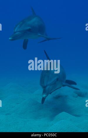 Indo-Pacific bottlenose dolphin, Indopazifischer Großer Tümmler, Tursiops aduncus, Coraya Beach, Marsa Alam, Egypt, Ägypten, Red Sea, Rotes Meer - Stock Photo