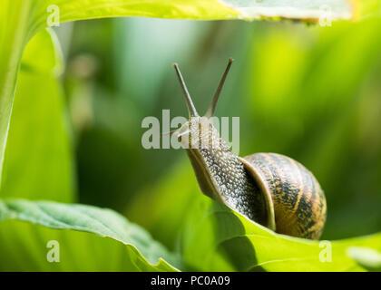 Helix aspersa - common garden snail on green hosta leaf reaching upwards - uk - Stock Photo