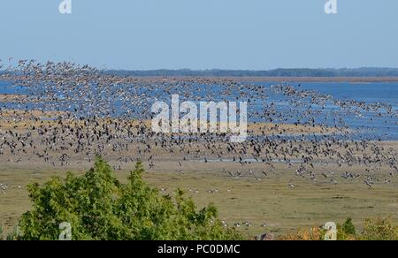 Large mixed flock of migrant Barnacle geese (Branta leucopsis) and Greater White-fronted geese (Anser albifrons) in flight over Matsalu Bay, Estonia. - Stock Photo