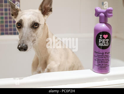 Brindle whippet dog in bath with bottle of dog shampoo - Stock Photo