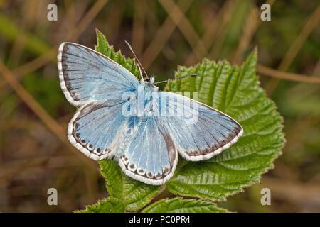 Male Chalkhill Blue butterfly (Polyommatus coridon), Cambridgeshire, England - Stock Photo
