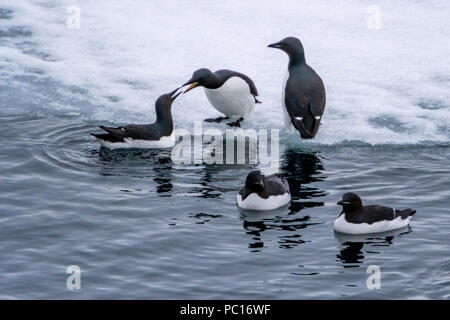 Brünnich's guillemots (Uria lomvia) also known as thick-billed murres on the ice in the Svalbard archipelago. - Stock Photo