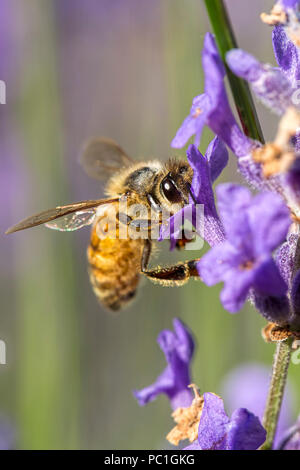 A honey bee, apis, on a lavender flower in north Idaho. - Stock Photo