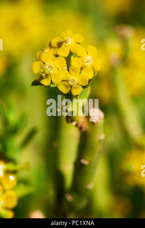 Euphorbia Mauritanica - Pencil Milkbush - Stock Photo