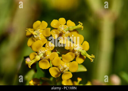 Euphorbia Mauritanica - Pencil Milkbush - Stock Photo