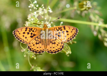 Lesser Marbled Fritillary Butterfly (Brenthis ino)  adult at rest on flowers, Estonia, July - Stock Photo
