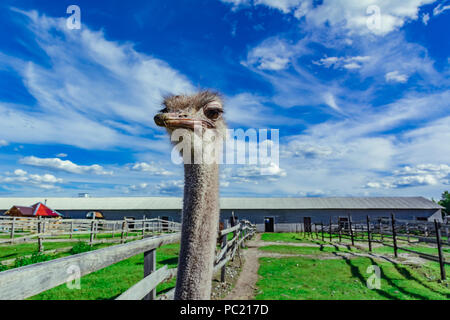 Ostrich in a farm with green grass and blue sky looking through fence - Stock Photo