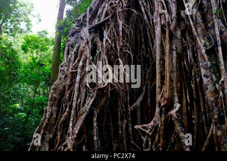 The Cathedral Fig Tree, Atherton Tablelands, QLD, Australia - Stock Photo