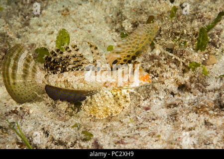 "The fingered dragonet, Dactylopus dactylopus, can be found during the day on open sandy bottoms.  They are often in pairs and will ""walk"" on the first - Stock Photo"
