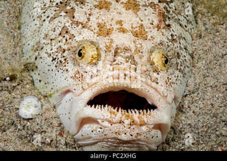 The stargazer, Uranoscopus chinensis, is an ambush predator that remains buried during the day, with only it's eyes and mouth visible.  This species c - Stock Photo