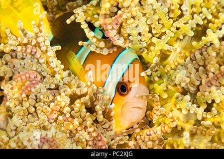 Clark's anemonefish, Amphiprion clarkii, in beaded sea anemone, Heteractis aurora, Philippines. - Stock Photo