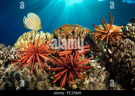 Slate pencil sea urchins, Heterocentrotus mammillatus, color the foreground of this Hawaiian reef scene with one ornate butterflyfish, Chaetodon ornat - Stock Photo