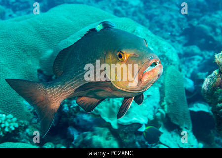 Red Snapper, Lutjanus bohar, at a cleaning station, Yap, Micronesia. - Stock Photo