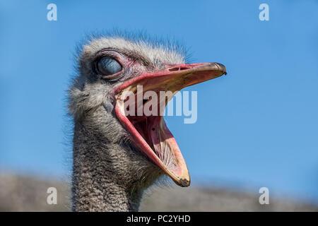 A closeup portrait of an Ostrich head - Stock Photo