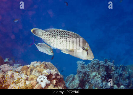 This bluefin trevally or jack, Caranx melampygus, and juvenile humphead or Napoleon wrasse, Cheilinus undulatus, are hunting together cooperatively. T - Stock Photo