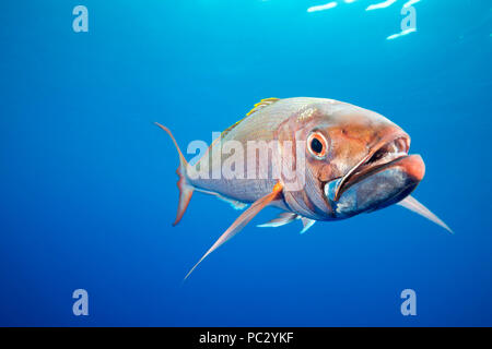 The deepwater longtail red snapper, Etelis coruscans, is also called ruby snapper or scarlet snapper, but is better known by its Japanese name, onaga. - Stock Photo