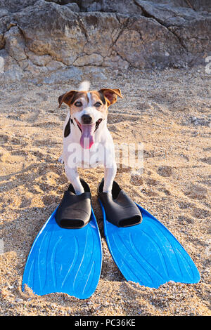 Adorable jack russell terrier dog with big blue flippers having fun on the beach. Concept of fun pastime with dog in the summertime - Stock Photo