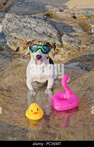 Close up portrait of jack russell terrier dog with swimming glasses sitting in the water and having fun on the beach. Concept of fun pastime with dog in the summertime. Selective focus - Stock Photo