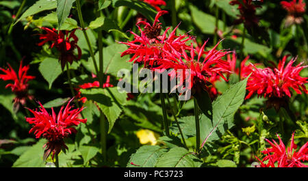 bright red flowers of Monarda or Bee Balm in perennial garden - Stock Photo