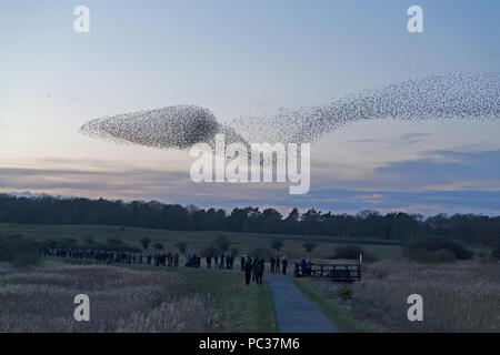 Common Starling (Sturnus vulgaris) flocking to roost at Minsmere RSPB reserve to the delight of the assembled crowd, Suffolk, England, February - Stock Photo