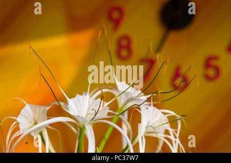 Hymenocallis caribaea, caribbean spider-lily, unique style white flower on multicolored background, illuminated by the sunset sun, close-up - Stock Photo