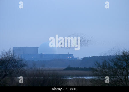 Common Starling (Sturnus vulgaris) flock flying to roost over Minsmere RSPB reserve with Sizewell power station in background, Suffolk, England, Febru - Stock Photo