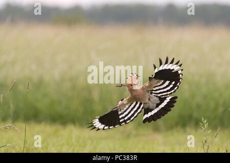 Eurasian Hoopoe (Upupa epops) adult, flying, with caterpillar in beak, Hortobagy N.P., Hungary, May