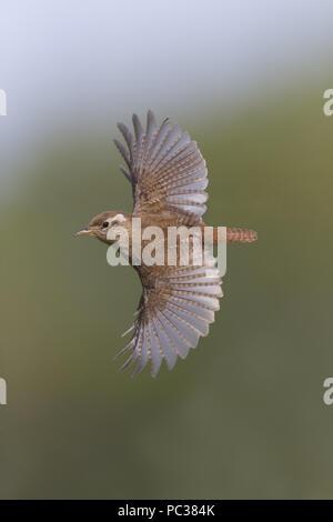 Eurasian Wren (Troglodytes troglodytes) adult, flying, Suffolk, England, UK, April - Stock Photo