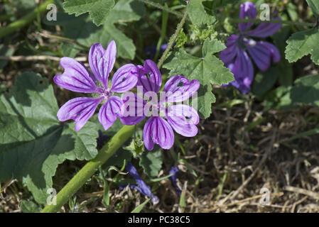 Mauve purple flowers with dark veins on a prostrate form of common mallow, Malva sylvestris, Berkshire, June - Stock Photo