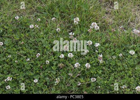 White clover, Trifolium repens, in flower in a weak lawn, Berkshire, June - Stock Photo