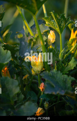 bush zucchini with small fruits and flowers growing on the bed - Stock Photo