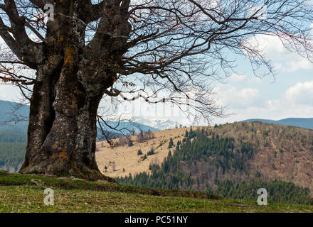 Big lonely leafless beech tree on the top of the hill in spring mountains in cloudy weather. Ukraine, Carpathians.