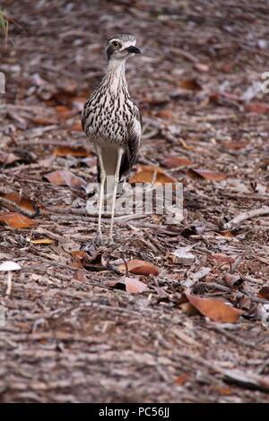 Bush Stone Curlew (Burhinus Grallarius) - Stock Photo