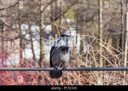 Hooded Crow, or Corvus cornix in Latin, sit on a pipe - Stock Photo