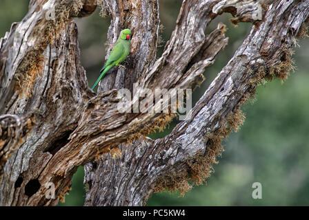 Rose-ringed Parakeet - Psittacula krameri, beautiful noisy green parrot from Sri Lankan woodlands and gardens. - Stock Photo