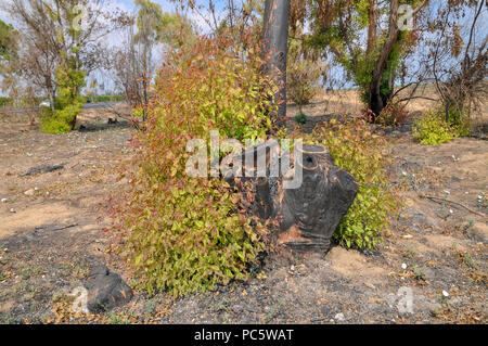 New Growth grows out of a burnt stump of an Eucalyptus tree - Stock Photo