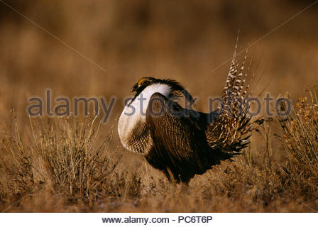 Gunnison sage grouse displaying with chest & tail feathers ruffled. - Stock Photo