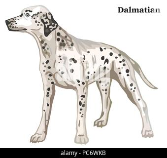 Portrait of standing in profile Dalmatian dog, vector colorful illustration isolated on white background - Stock Photo