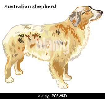 Portrait of standing in profile Australian shepherd dog, vector colorful illustration isolated on white background - Stock Photo