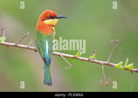Chestnut-headed Bee-eater - Merops leschenaulti, beautiful colorful bee-eater from Sri Lankan woodlands and bushes. - Stock Photo