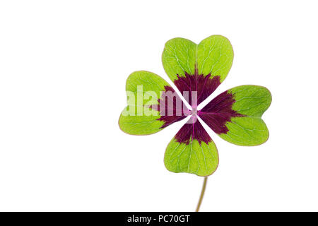 Clover with four leaves isolated on white background - Stock Photo