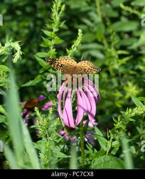 Great Spangled Fritillary Butterfly, Speyeria cybele, on Purple Coneflower,Echinacea purpurea - Stock Photo