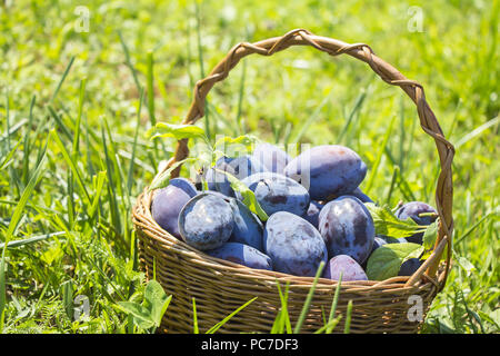 Plums in the wooden basket on green grass - Stock Photo