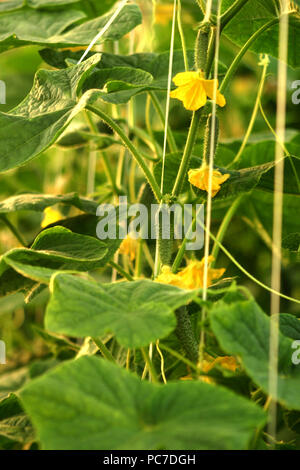Cucumber plants in greenhouse - Stock Photo