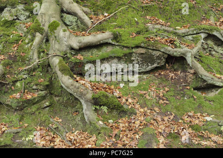 Exposed tree roots of Common Beech (Fagus sylvatica), Hebden Dale, West Yorkshire, England, October - Stock Photo