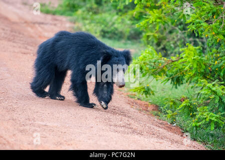 Sri Lankan bear in the jungle - Stock Photo