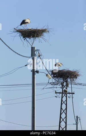 White Stork (Ciconia ciconia) two adults stood on nests, on platform built on electric pylon, Vojvodina, Serbia, June - Stock Photo