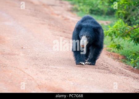 Sri Lankan bear in the jungle - Stock Photo