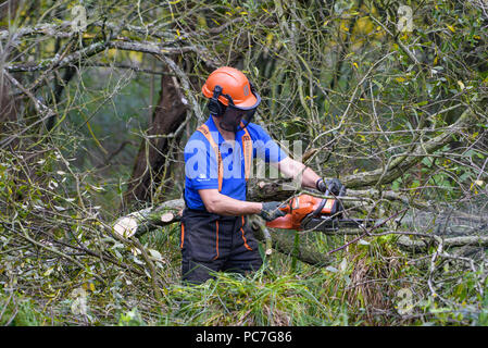 Man using a Husqvarna chainsaw to thin out a wood, RSPB Leighton Moss, Silverdale, Carnforth, Lancashire. - Stock Photo